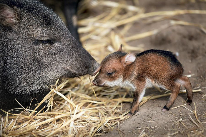 Rare Animal Babies You've Never Seen Before - 19. Chacoan Peccary Baby