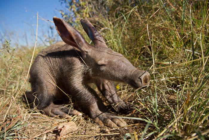 Rare Animal Babies You've Never Seen Before - 21. Baby Aardvark