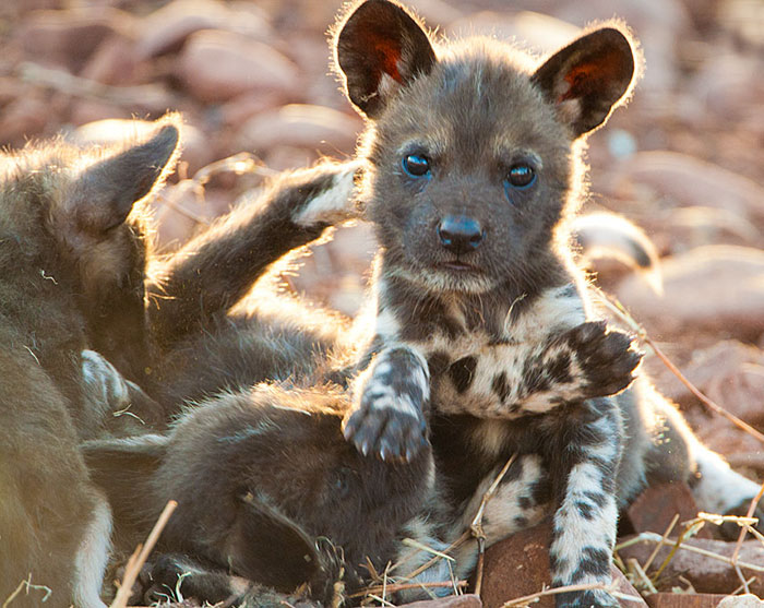Rare Animal Babies You've Never Seen Before - 22. African Wild Dog Puppy