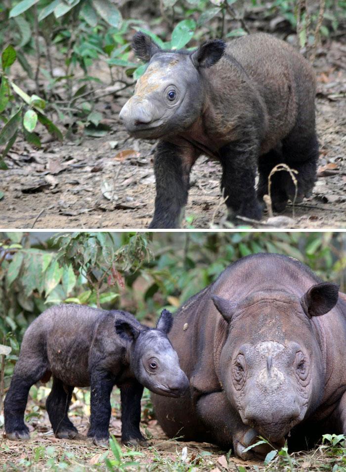 Rare Animal Babies You've Never Seen Before - 27. Sumatran Rhino Baby