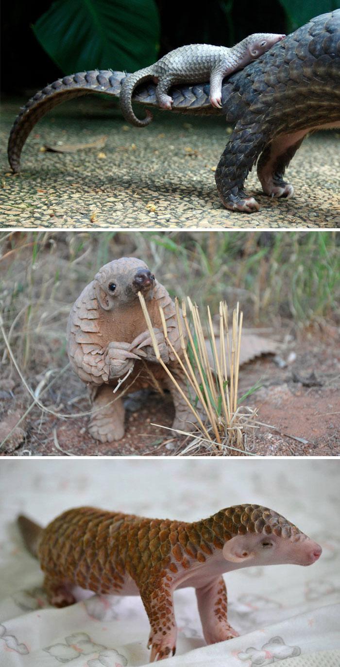 Rare Animal Babies You've Never Seen Before - 3. Baby Pangolin