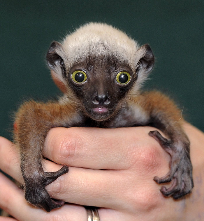Rare Animal Babies You've Never Seen Before - 33. Baby Sifaka