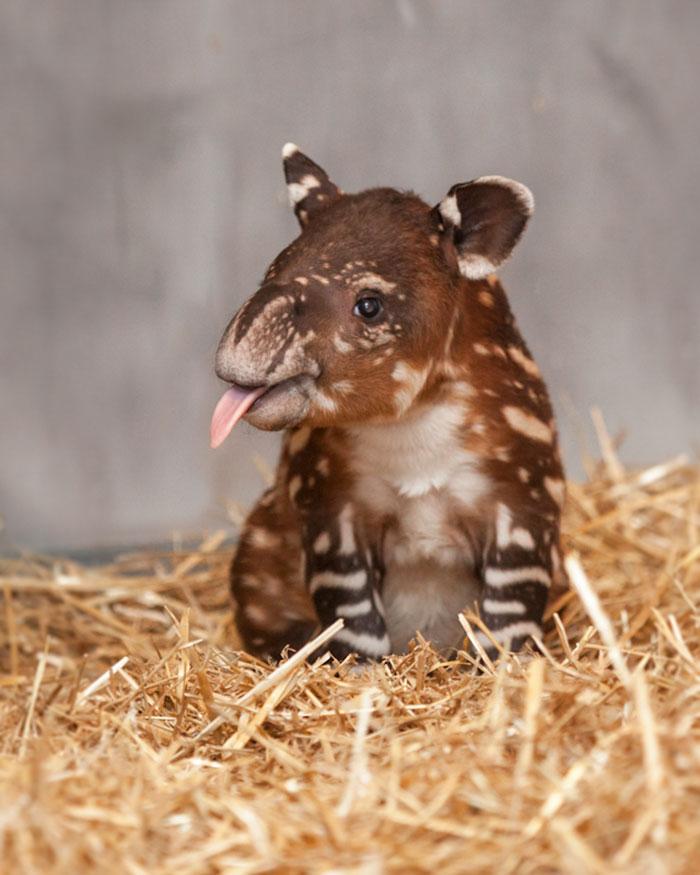 Rare Animal Babies You've Never Seen Before - 5. Baby Tapir