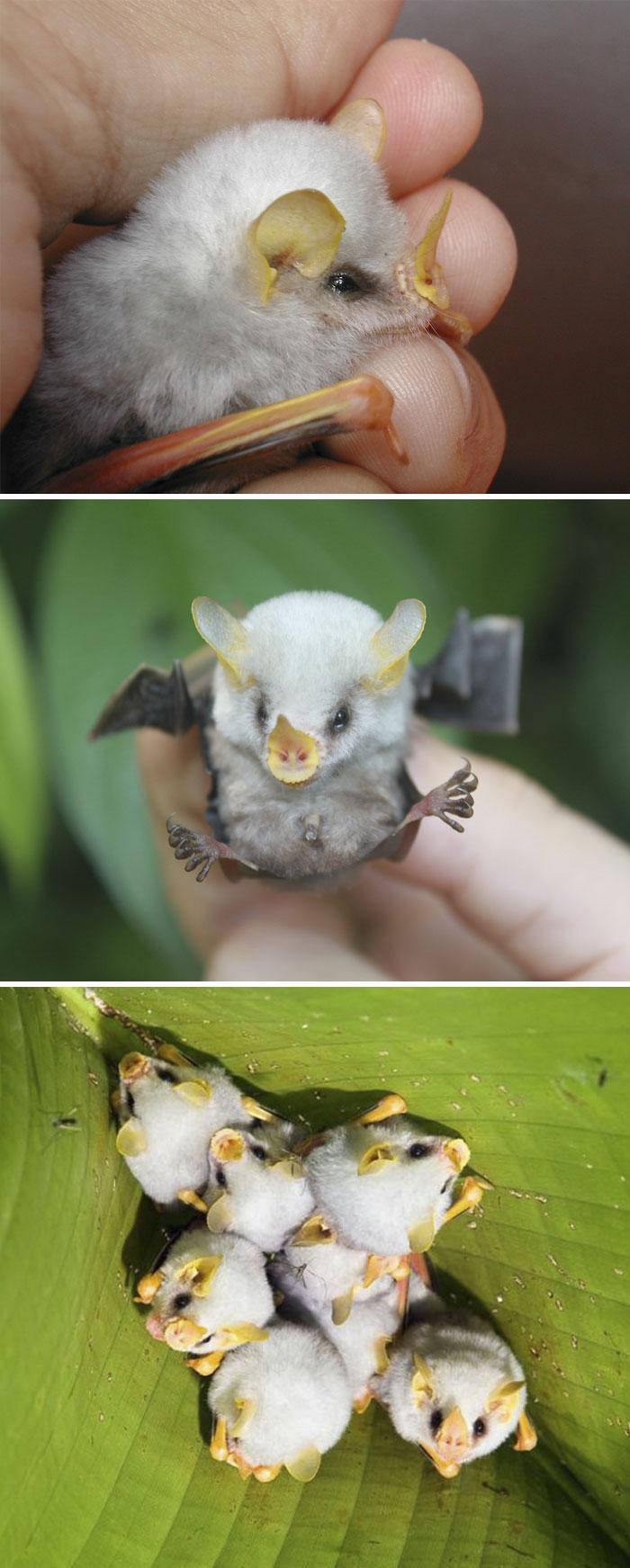 Rare Animal Babies You've Never Seen Before - 8. Fluffy Honduran White Bat Baby