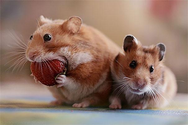 Animals Eating Berries - Hamster Eating Strawberry