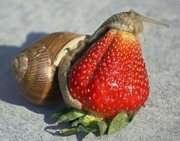 Animals Eating Strawberry