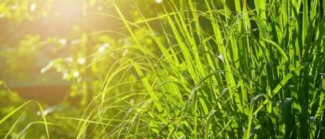 Plantes anti-moustiques