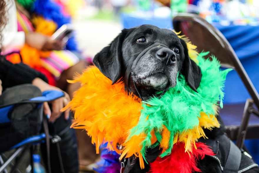 black dog wearing fur decor