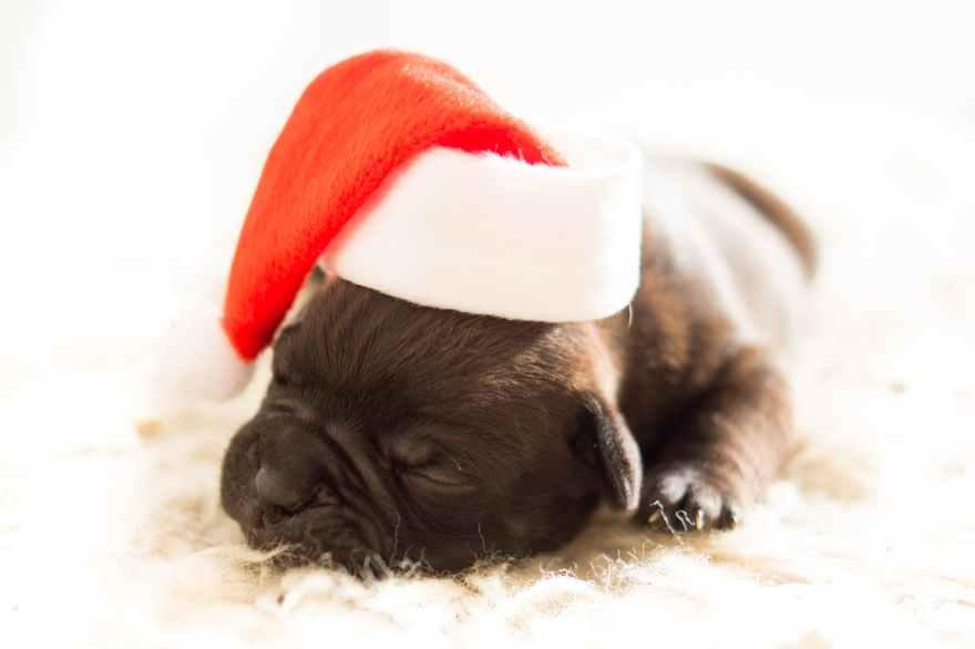 dog christmas xmas bulldog