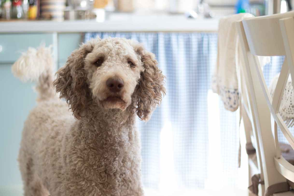close up photography of poodle