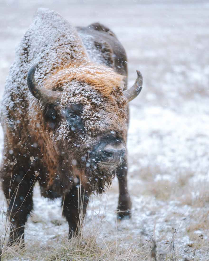 bison standing on snow covered field