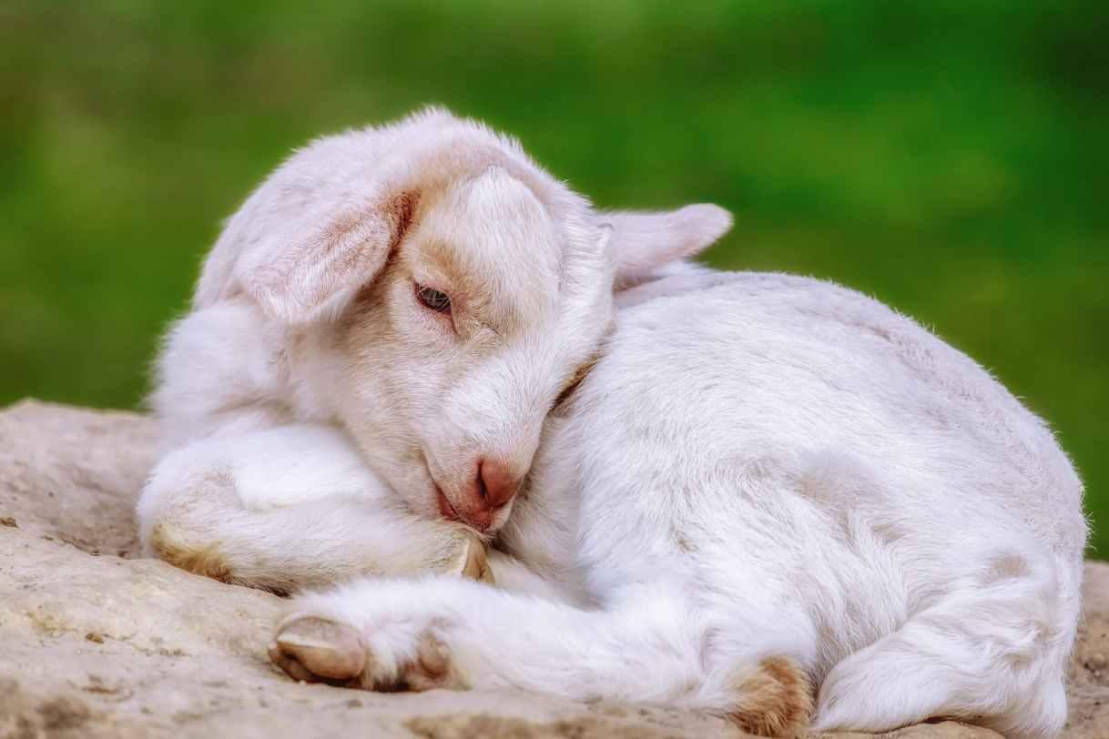 close up photo of white baby goat sleeping