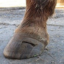 What causes hoof abscess in horses
