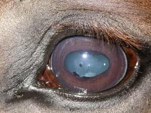 natural uveitis treatment