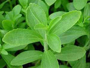 planta_stevia3