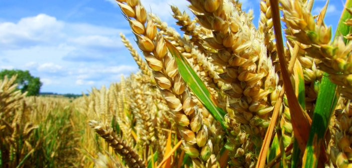 agriculture_wheat field_crops