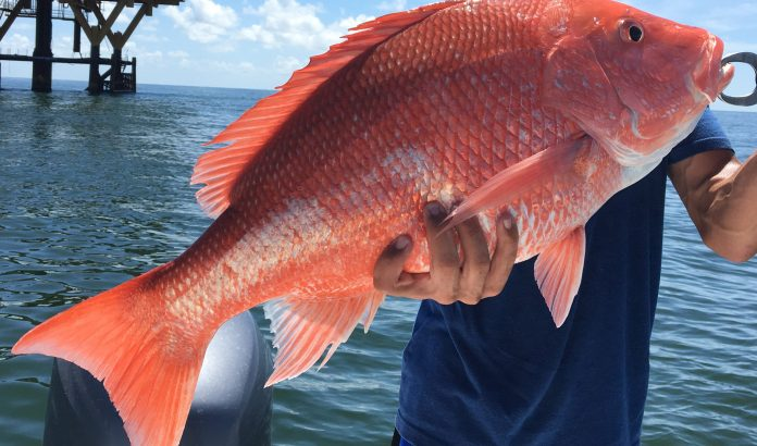 red snapper fish