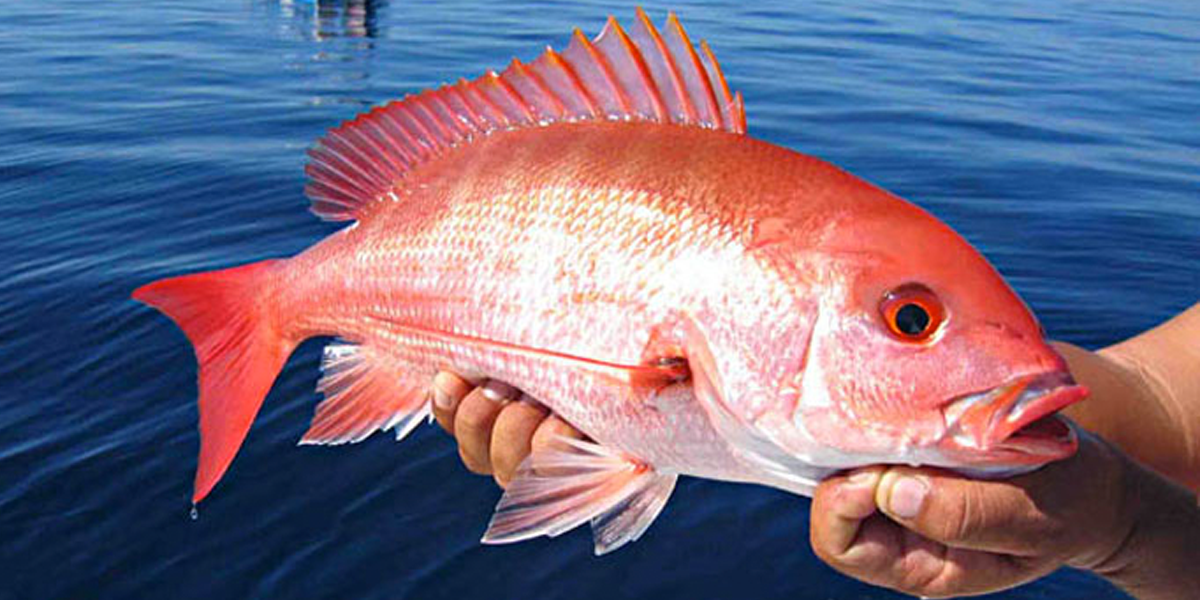 Fishery council approves exempted fishing pilot program for Red snapper fish