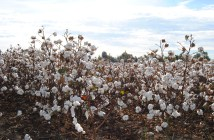 field of cotton_farm_agriculture