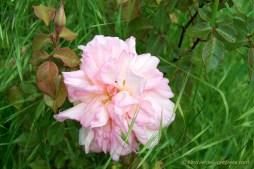 rosa 'Gilbert Nabonnand'