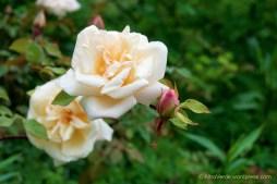rosa 'Safrano'