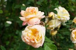 rosa Golden Moss