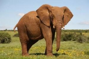 Fil olduğundan küçük, bit ise olduğundan büyük çizilir hep
