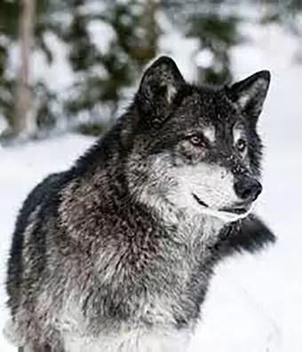 Aslı kurt yavrusu, yine kurt olur.