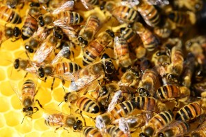 local-honey-bee-removal-albuquerque-a11-505-500-4780