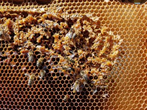 local-honey-bee-removal-albuquerque-a27-505-500-4780
