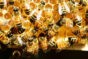 local-honey-bee-removal-albuquerque-c6-505-500-4780