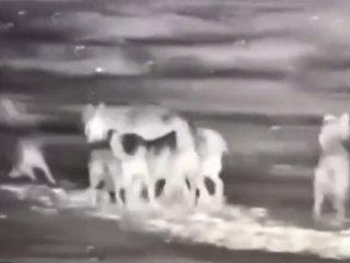 Erzurum'da kurtlar köpeği parçaladı