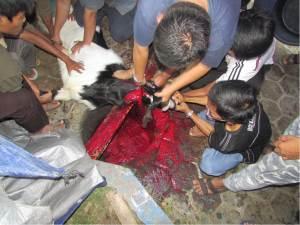 Penyembelihan kambing oleh Usatad Pondok Pesantren Al Ukhuwah Sukoharjo