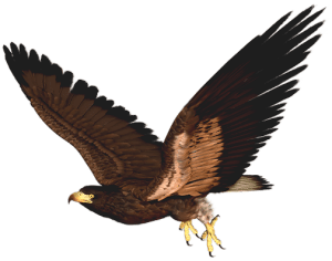 Hawk_PNG_Clipart_Picture