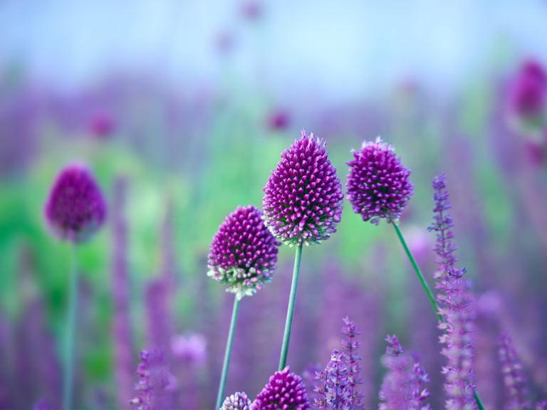 Bulbos de Allium