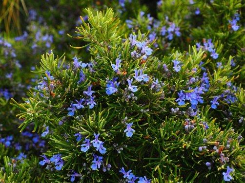 Romero (Rosmarinus officinalis), excelente planta para nuestros amigos, nuestro jardín y nuestras narices.