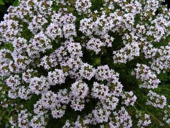 El tomillo (Thymus spp) y sus deliciosos perfumes, además de ser una preciosa planta ornamental, también es atrayente de fauna auxiliar.