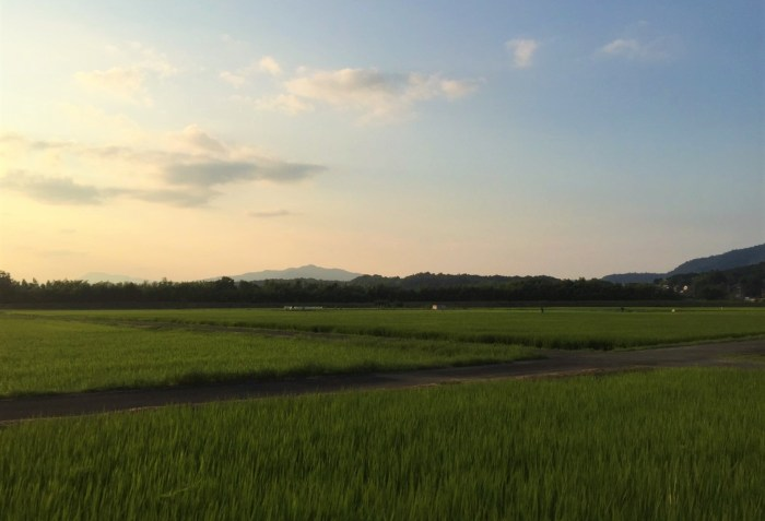 Rice Paddies in Evening