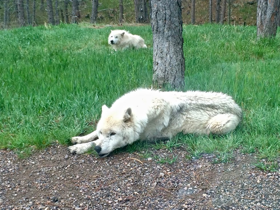 Two arctic wolves laying in the grass on the side of the road