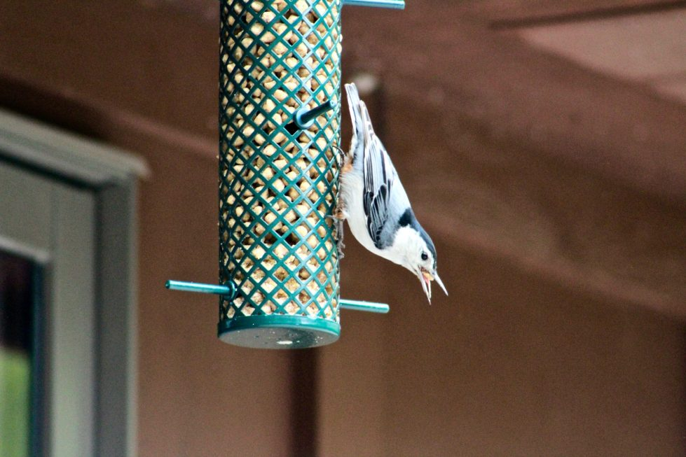 A nuthatch perched upside down on a tube bird feeder while eating some suet.
