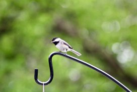 A Chickadee Perched On A Feeder Hanger.