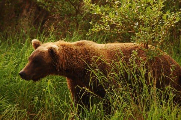 An Alaskan Brown Bear standing in the grass