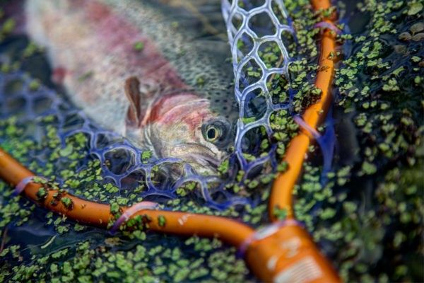A beautiful trout in a net.