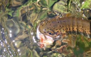 A trout eating a large orange caddis dry fly