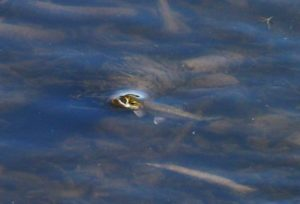 A small trout eating insects off the surface in the winter time