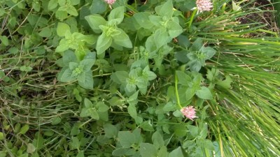 Oregano and chives
