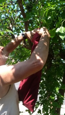 picking mulberries