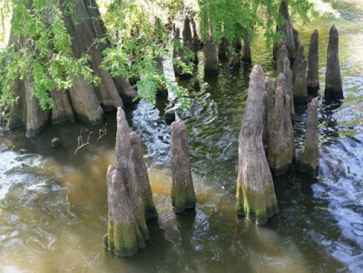 AOL - Toltec Mounds Cypress Trees Knees