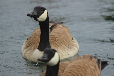 geese-2