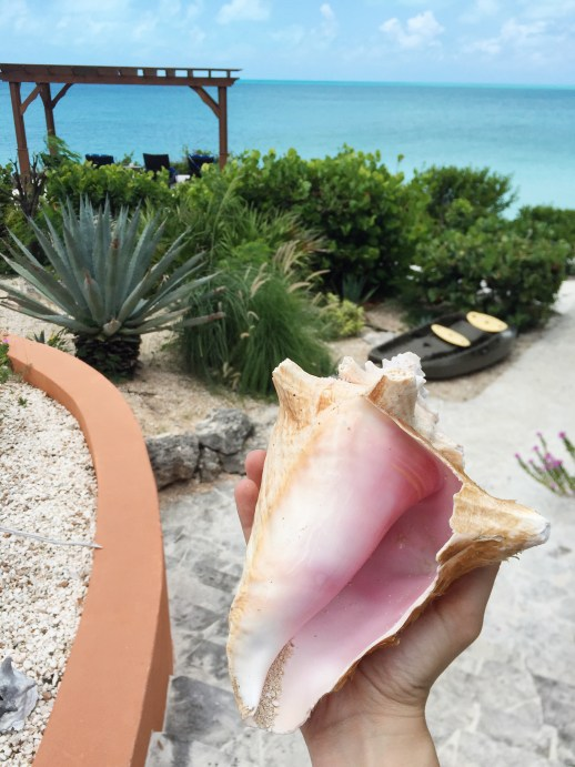 A2F Turks and Caicos Conch Shell